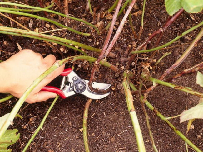 Подрезка малины под корень
