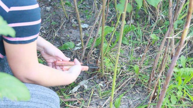 Обрезка куста малины при помощи секатора