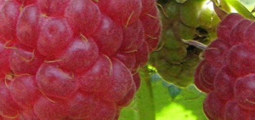 Плоды малины зюгана вблизи