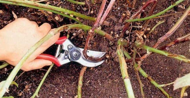 Обрезка тонких побегов ремонтантной малины