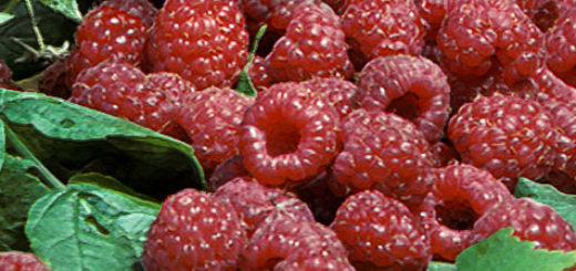 Плоды малины Полана вблизи