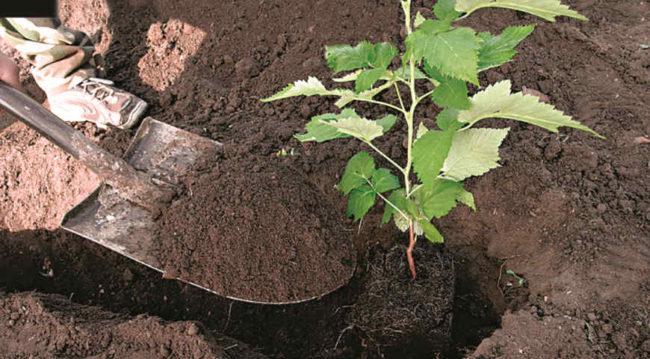 Малина в лунке и лопата с землёй