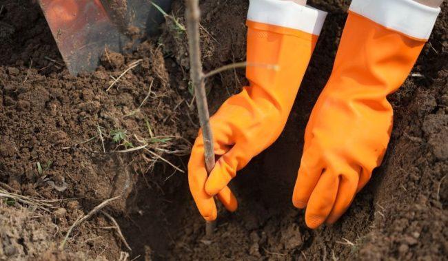 Посадка малины в перчатках