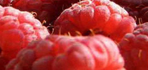 Малина Патриция плоды вблизи