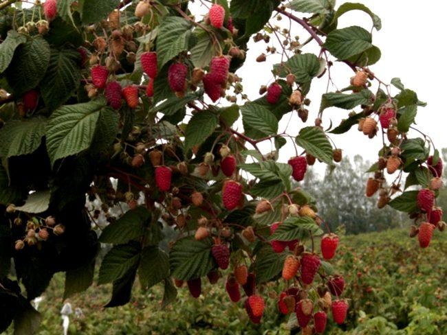 Ремонтантная малина в саду