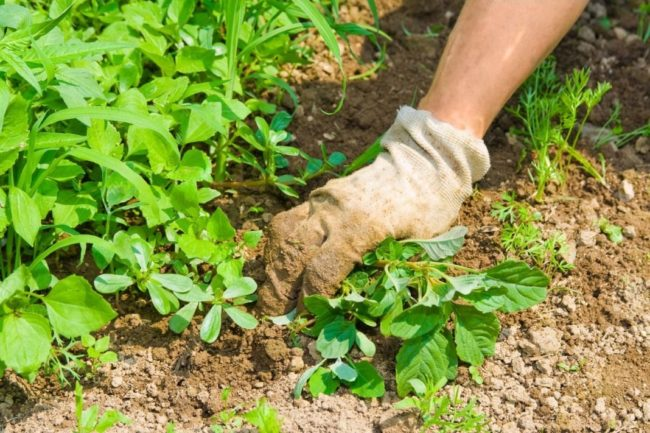 Удаление сорняков руками