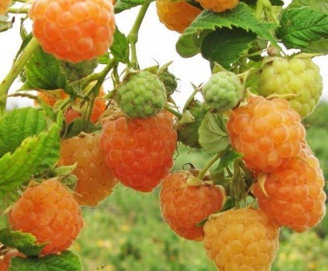 Созревшие ягоды малины сорта челябинская жёлтая