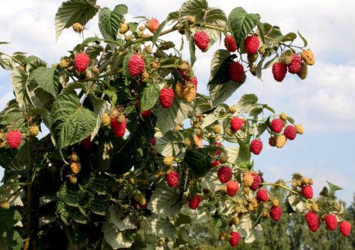 Ремонтантный куст малины сорта бабье лето