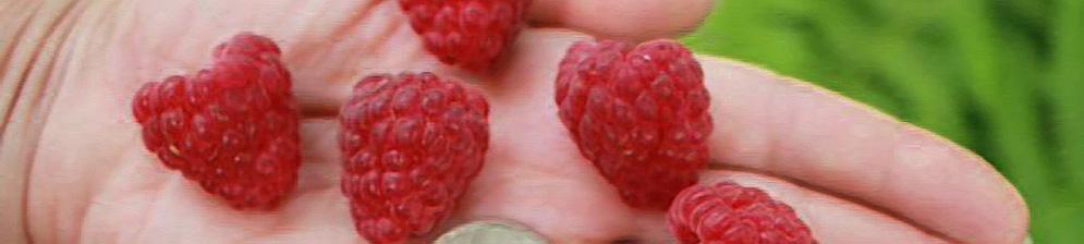 Малина бабье лето 2 на руке и монетка