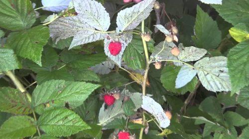Малина сорта бальзам на кусте в саду
