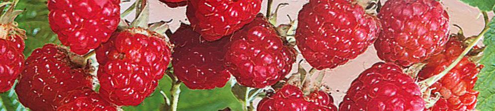 Малина брянский рубин плоды вблизи