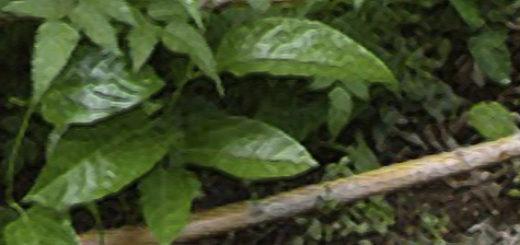Зелёные черенки малины вблизи