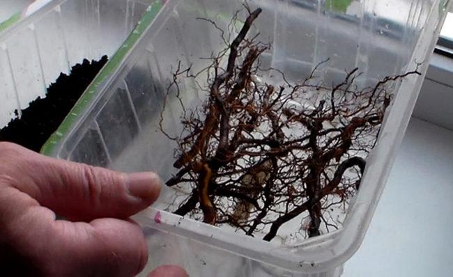 Прикорневые черенки малины