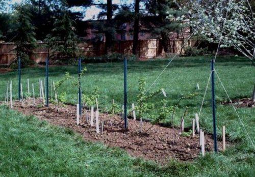 Гнездовой метод посадки малины в саду