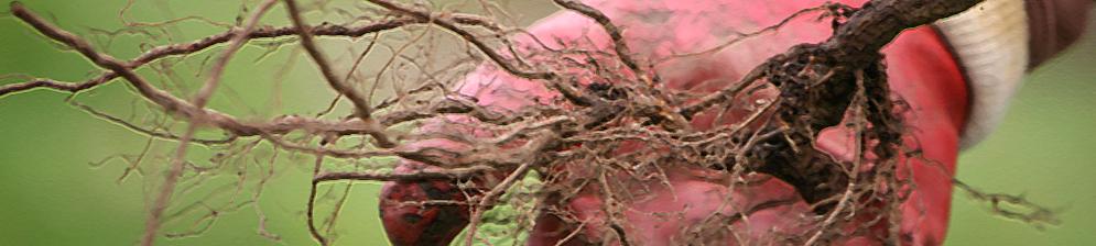 Корневой отпрыск малины вблизи
