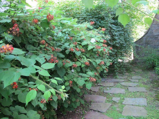 Кусты малины растущие в саду