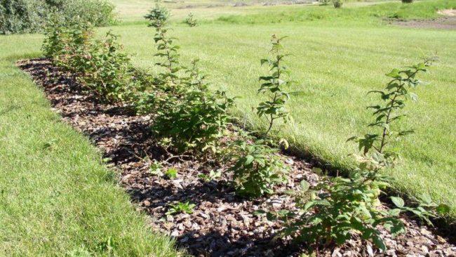 Посаженные кусты малины в саду