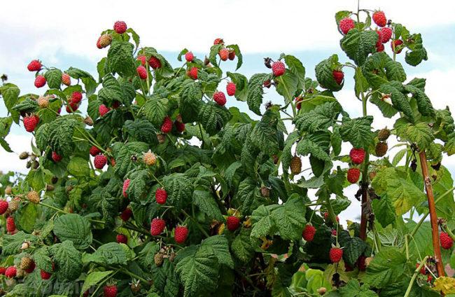 Высокий куст малины в саду