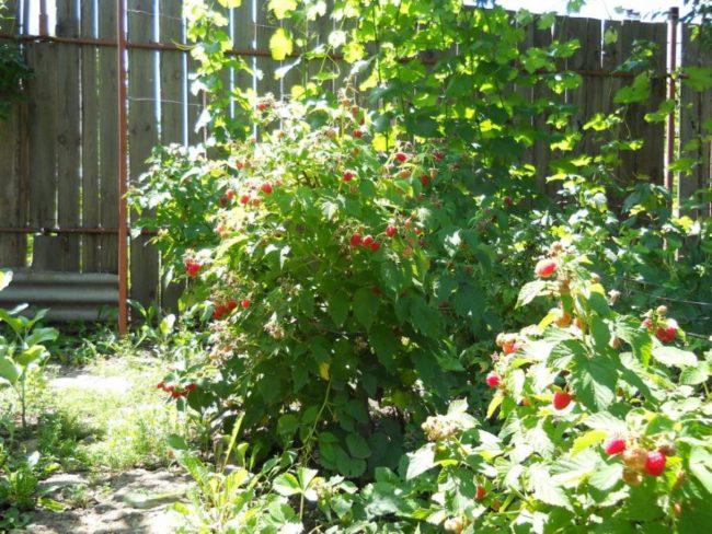 Куст ремонтантной малины с ягодами сорта исполин