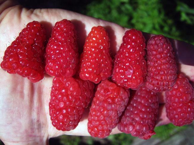 Спелые ягоды малины на руке