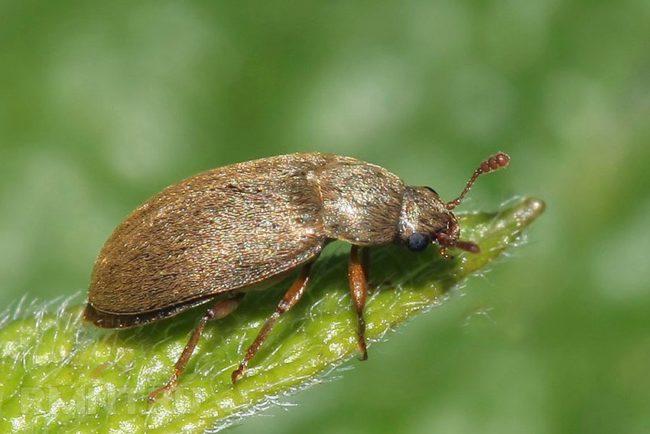 Малинный жук на листочке