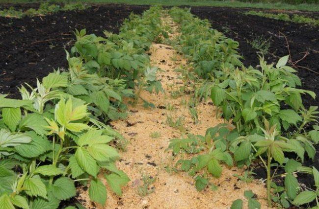 Мульчирование почвы для малины