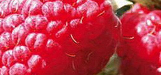 Плоды малины новость Кузьмина