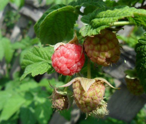 Ягоды малины сорта новость кузьмина в саду
