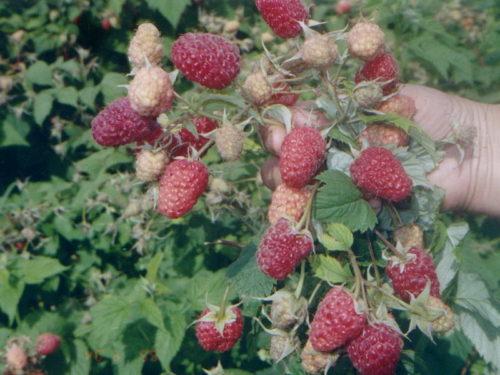 Много ягод малины сорта новость кузьмина на ветке