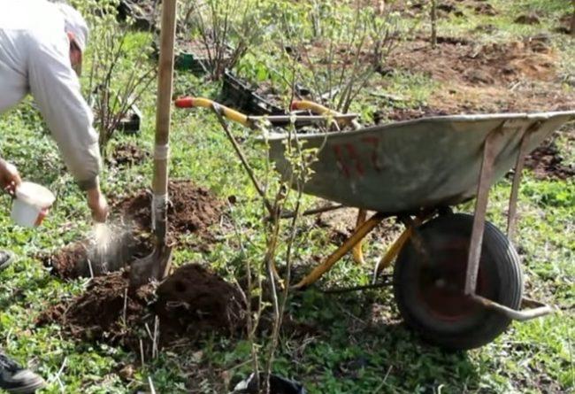 Пересадка куста малины в саду