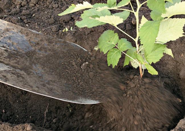 Пересадка малины весной в новую землю черенок лопаты