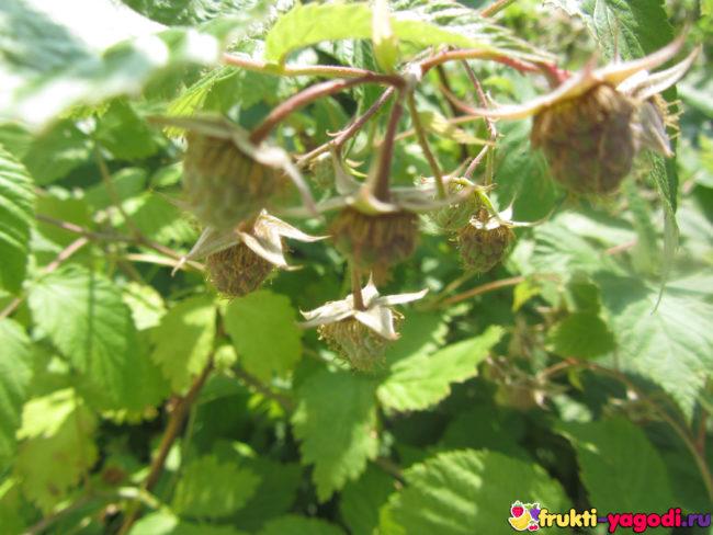 Первые плоды зелёные с пересаженной малины
