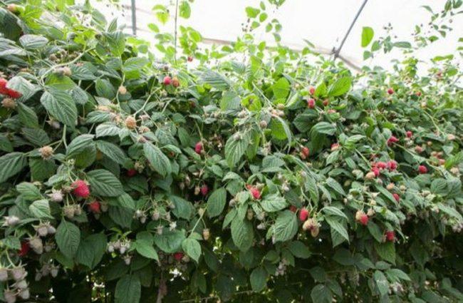 Плодоносящий куст малины