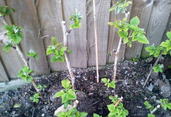 Посаженная малина в саду