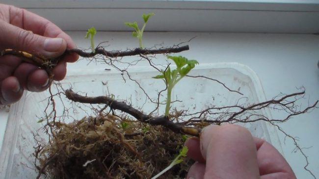 Побеги корневой системы малины
