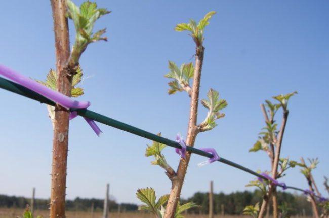 Шпалера для малины в саду