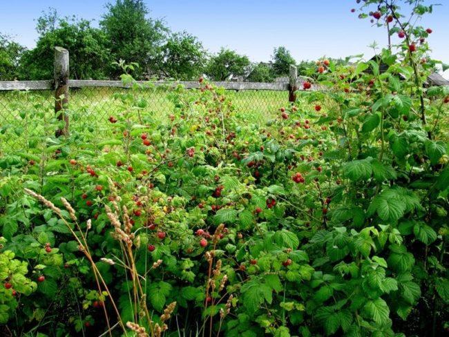 Созревание малины в саду