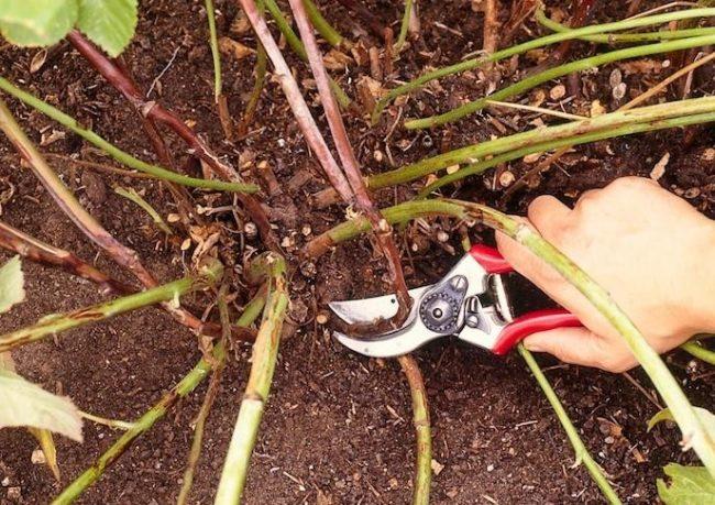 Срезание стеблей малины