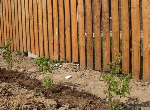Траншейный метод посадки малины в саду