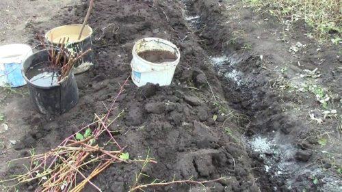 Траншейный метод посадки куста малины