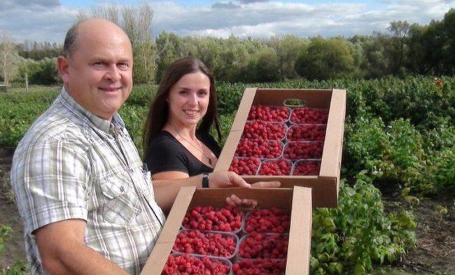 Транспортировка ягод малины
