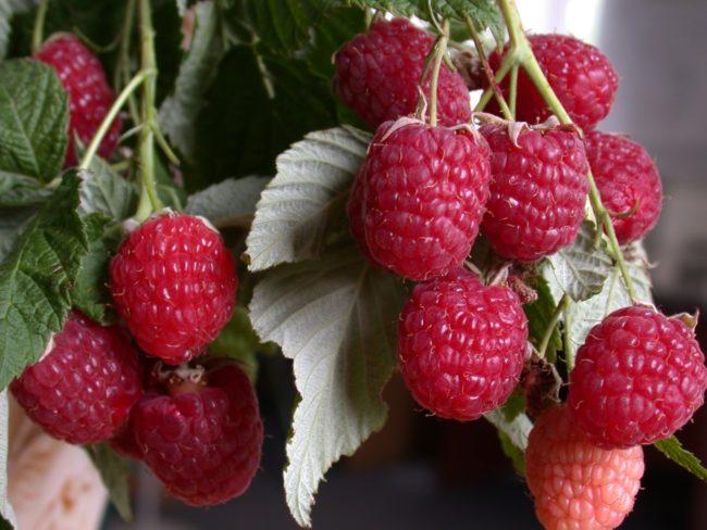 Крупные ягоды малины на ветке