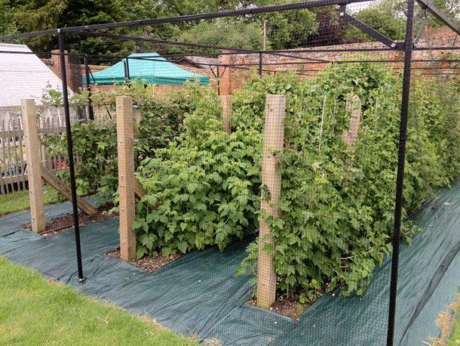 Веерный метод подвязки малины