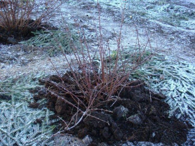 Стебли куста малины зимой в саду