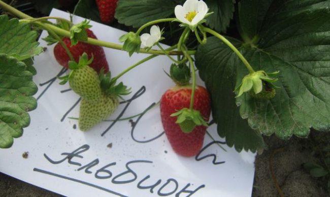 Плоды и цветки клубники Альбион