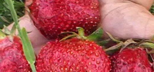 Плоды клубники сорта Азия вблизи