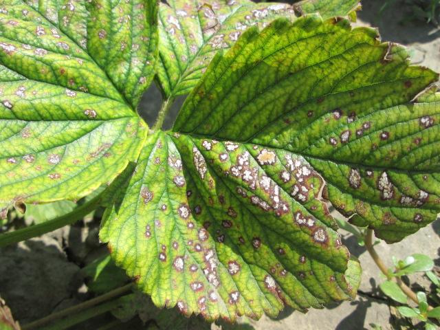 Белесые пятна на листе клубники
