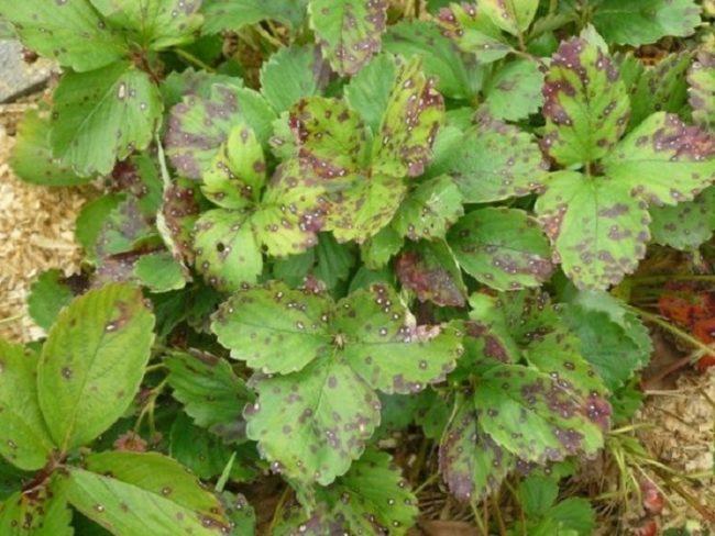 Куст клубники с белой пятнистостью листьев