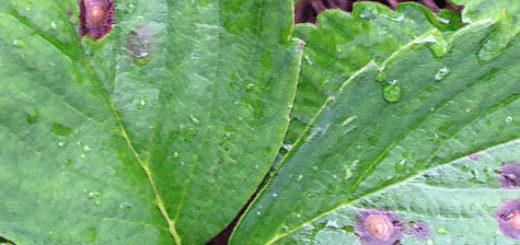Бурая пятнистость на листьях клубники вблизи