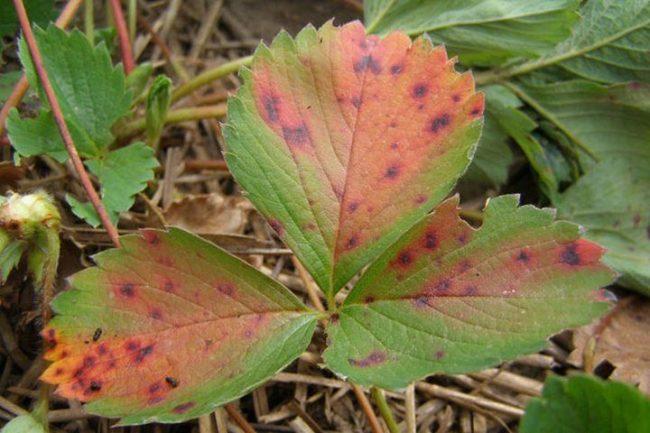 Бурые пятна на листьях садовой клубники